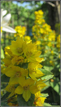 Photo: Lumanarica (Verbascum densiflorum) - de pe Str. Luptatorilor - 2017.06.11