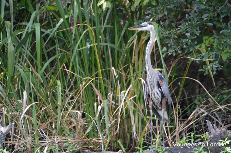 Blue Heron swamp tour