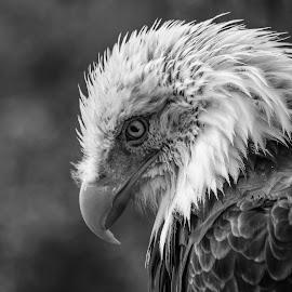 Dollar by Garry Chisholm - Black & White Animals ( bird, garry chisholm, nature, wildlife, prey, raptor )
