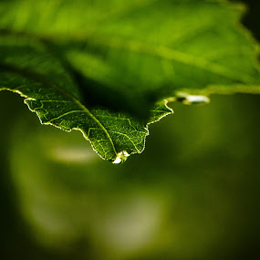Dew drop  by Manjunath Nagesha Rao - Nature Up Close Leaves & Grasses