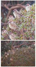Photo: 撮影者:>sayoko sato 鳥名:スズメ タイトル:何見てんの? 観察年月日:2014年1月26日 羽数:約20羽 場所:高幡台団地の庭 区分:行動 メッシュ:武蔵府中3H コメント:隣の建物の庭でいつも遊んでいるスズメたち。つつじの灌木の中に潜ったり顔を出したりしています。