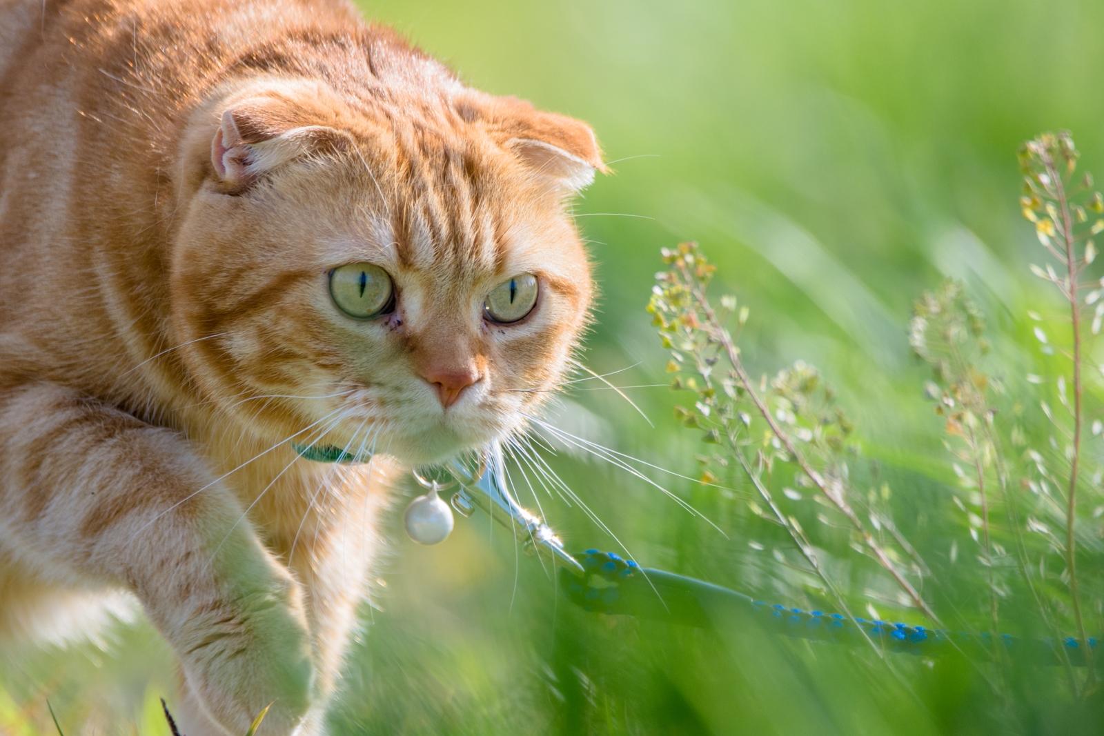 Photo: 「好奇心」 / Curiosity.  そっと足を踏み入れる この先がなんだか気になる そろりそろり ドキドキするけど 好奇心は止まらない  モデル:トラジ  Nikon D7200 SIGMA 150-600mm F5-6.3 DG OS HSM Contemporary  #cat #kawaii #nikon #sigma  #木曜ポートニャート #トラジオフ  ( http://takafumiooshio.com/archives/2445 )