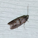 Locust Leafroller Moth