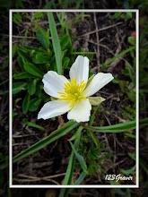 Photo: Renoncule de Küpfer, Ranunculus kuepferi