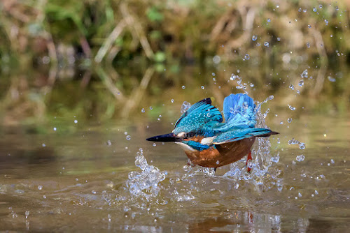 Wrong dive by Roberto Melotti - Animals Birds ( water, river kingfisher, roberto melotti, dive, lake, eurasian kingfisher, nikon d810, common kingfisher, martin pescatore, flying, flight, alcedo atthis, kingfisher, diving, italy, river )