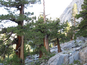 Photo: Climbing up to Evolution Meadow, there are many individual incense cedar trees clinging to the cliffs