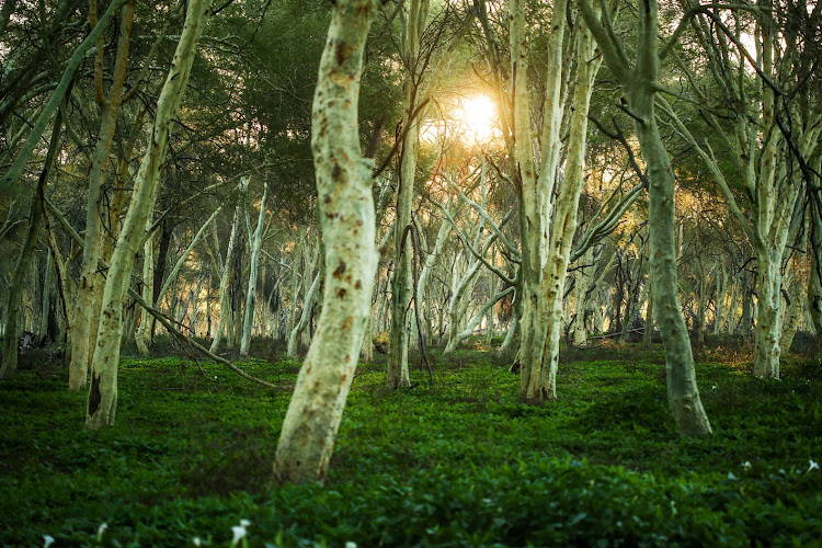 The fever tree forest at Pafuri in the Kruger National Park.