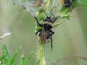 Photo: 14 Aug 13 Wood Lane: Another unidentified bumble bee sp. (Ed Wilson)