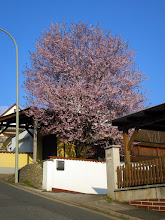 Photo: bloddplumtree in full flower , a weekl later than last year, from oter side of street