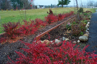Photo: red barberry hedge backdrop - gorgeous fall glow, will only improve as they get larger