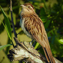 Striped Cuckoo