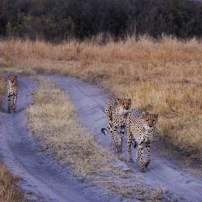 Cheetah Brothers - Botswana			 by Martin Jacobvitz - Animals Lions, Tigers & Big Cats