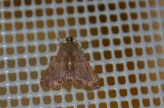 Photo: Endotricha flammealis     Lepidoptera > Pyralidae