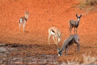 "Photo: Normal and ""black"" Springbok, Mokala National Park."