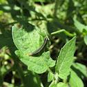 Striped Garden Caterpillar (?)
