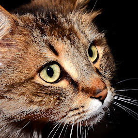 by Damir Ipavec - Animals - Cats Portraits