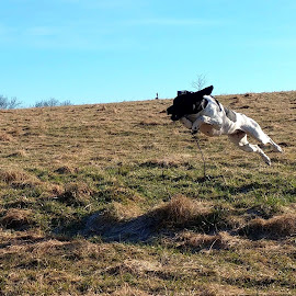 Flying Shorthair by Koenraad De Roo - Animals - Dogs Playing ( playing, german shorthaired pointer, pets, action, dog, jump,  )