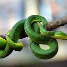 White-Lipped Pit Viper ( Venomous )