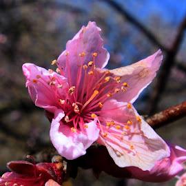 Spring Nectarine Blossom by Bill Martin - Flowers Tree Blossoms ( spring, pink, blossom, nature, flower,  )