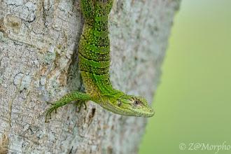 Photo: Black Spiny-tailed Iguana juvenile @ Jaco