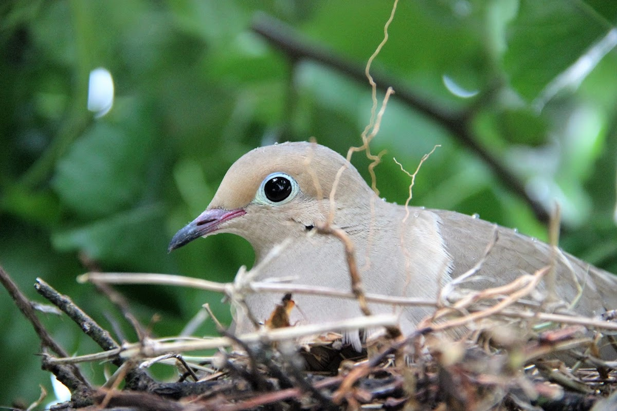 Mourning Dove and nest with eggs