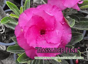 Photo: Hassadii Pink