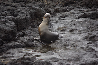 Photo: Sea Lion vs. puffer fish (puffer fish loses)