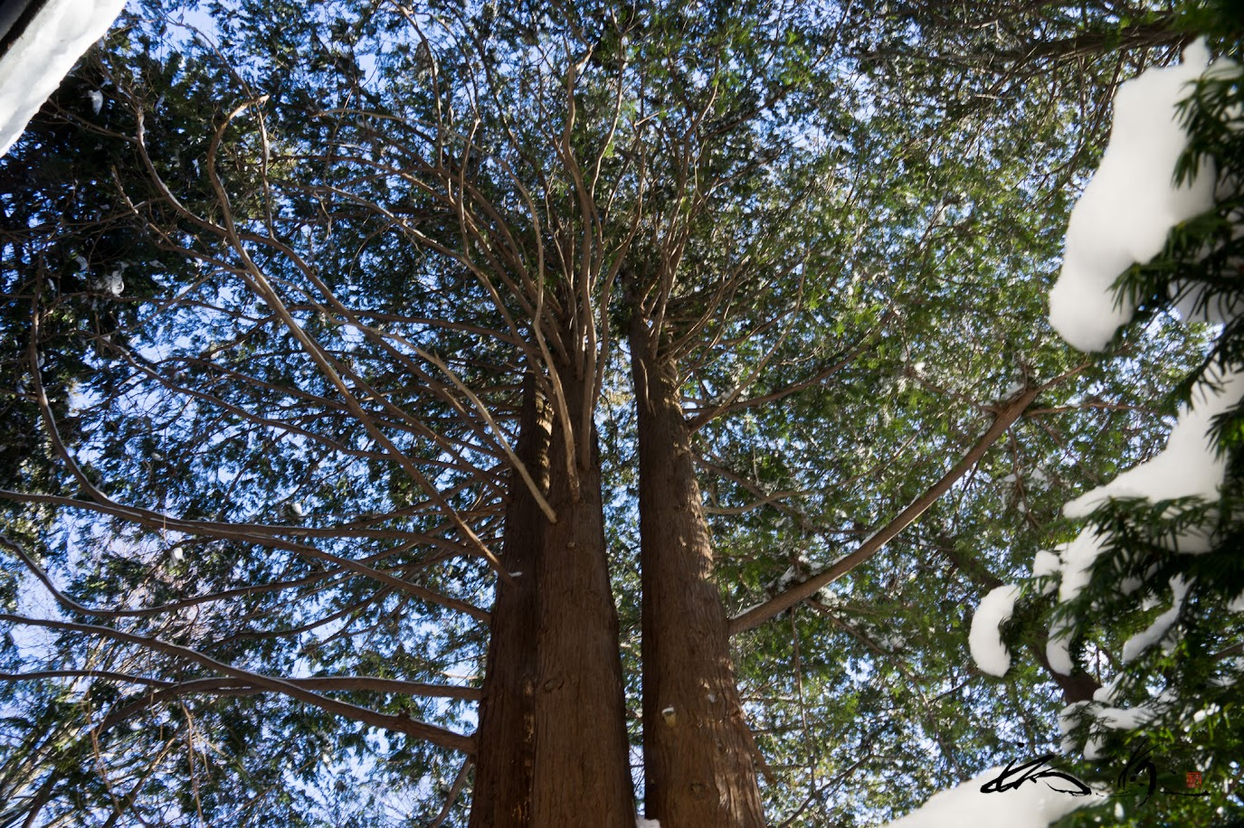 寄り添う巨木