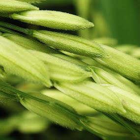 Rice Plant by Joe Joe - Nature Up Close Flowers - 2011-2013