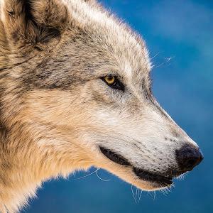 Grey Wolf-28.jpg