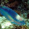 Princess Parrot Fish (terminal)