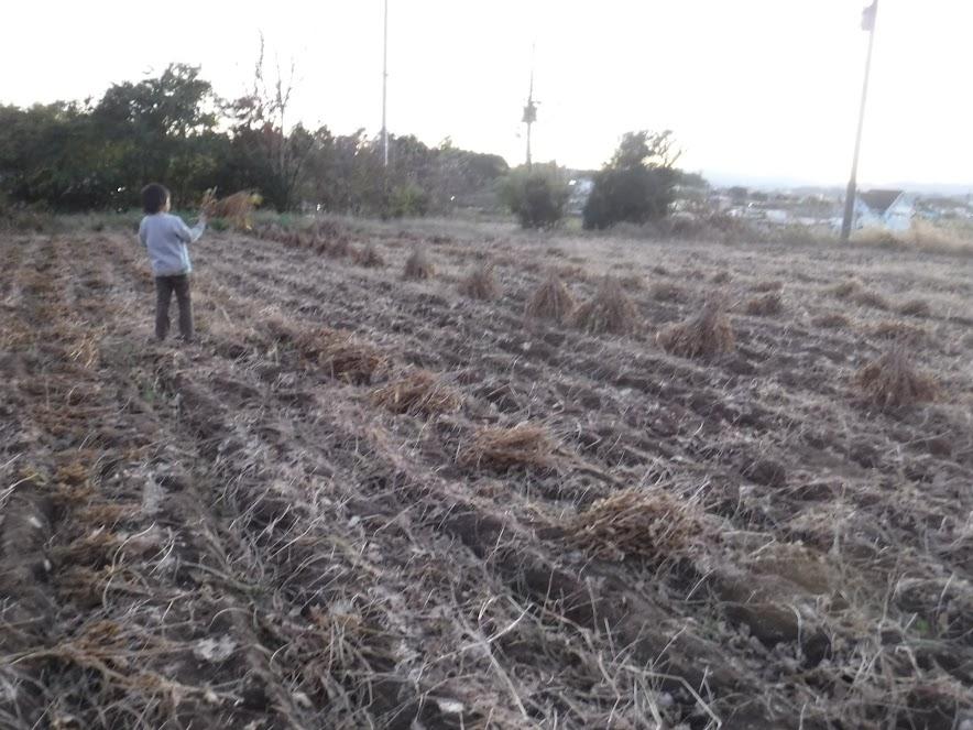 大豆の枝集めを手伝ってくれる長男