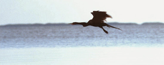 Photo: Anhinga anhinga