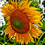 by Carlo Resty Sunga - Novices Only Flowers & Plants ( , summer, sunflowers, flowers, yellow, garden, seeds, Hope )
