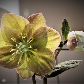Elleboro by Francesco Benettolo - Flowers Single Flower ( rosa di natale, pianta in fiore, fiore particolare, fiore di elleboro, elleboro )