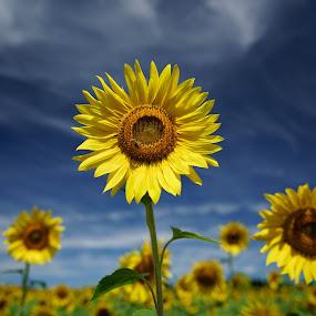 Sunflower Sentinels by Tim Devine - Flowers Flower Gardens ( clouds, field, sky, sunflowers, flowers,  )