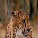 Cheetah Wallpapers icon