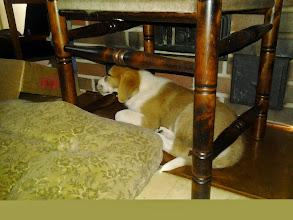 Photo: Viikko siihen meni, nyt pentunen malttaa nukkua ihan oikeasti myös työpäivän iltana.