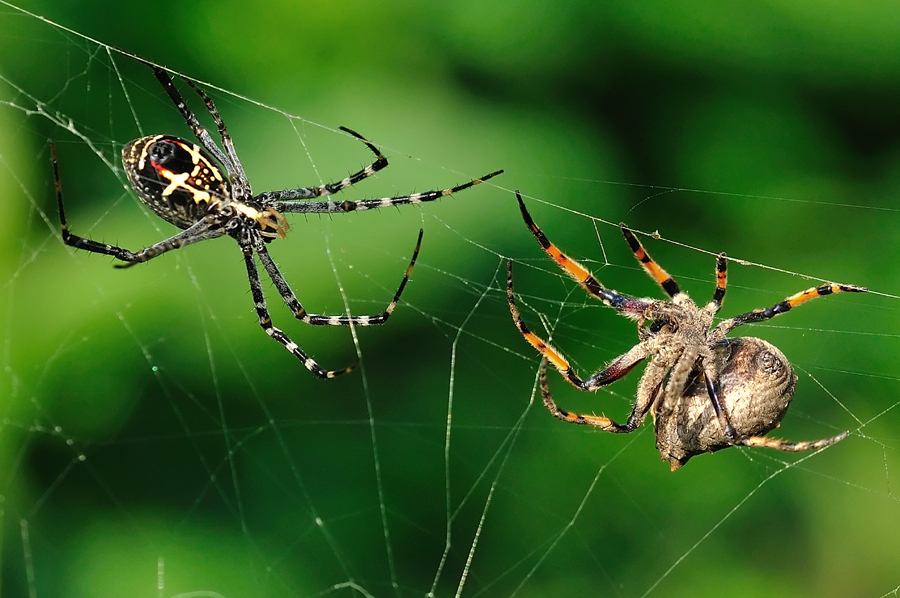 Ready to Fight by Petrus Arif - Animals Insects & Spiders