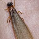 Arboreal Termite / Cupim-Arborícola