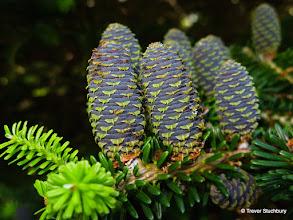 Photo: Pine Cones, Johnston Gardens, Aberdeen