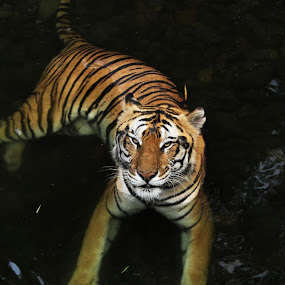 Tiger In The River by Elha Susanto - Animals Lions, Tigers & Big Cats