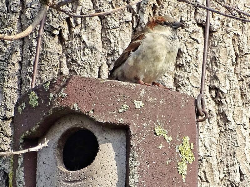 2019-02-28 LüchowSss Garten an der Eiche (1) männlicher Haussperling (Passer domesticus) auf dem Nistkasten