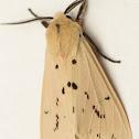 Spilosoma moth