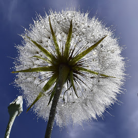 Large dand by Denton Thaves - Flowers Flowers in the Wild ( dandelion )