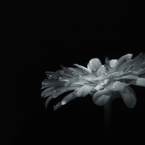 Drops by Mariusz Murawski - Black & White Flowers & Plants ( #flowers, #drops,  )