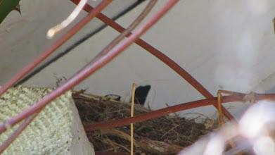 """Photo: Im Nest am Apartmenthaus sitzt ein """"Wippsteert"""" (Bachstelze)"""