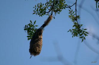 Photo: Обыкновенный ремез, Eurasian Penduline-tit, (Remiz pendulinus). Гнездо. Ясеневый лес. Миссолонги.
