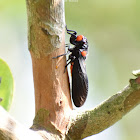 Red-Nosed Cicada