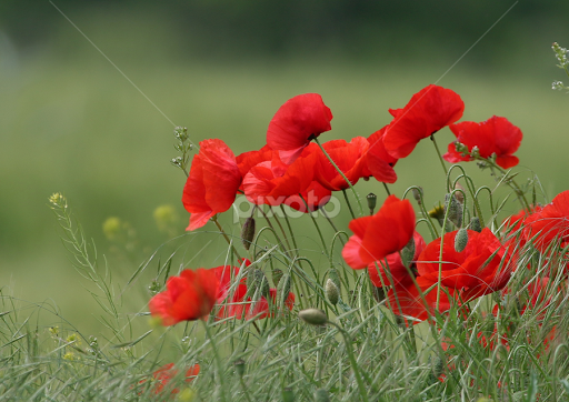 Red Flower By Radomir Perin Rasa Flowers In The Wild
